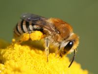 Colletes sp_Hans Juergen Sessner.jpg